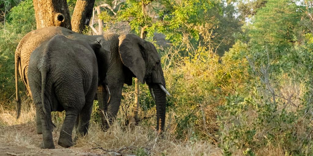 The elephants graze on the grass.