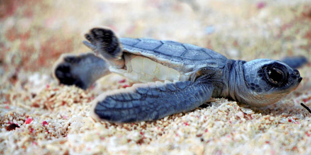 A hatchling lays in the sea sand.