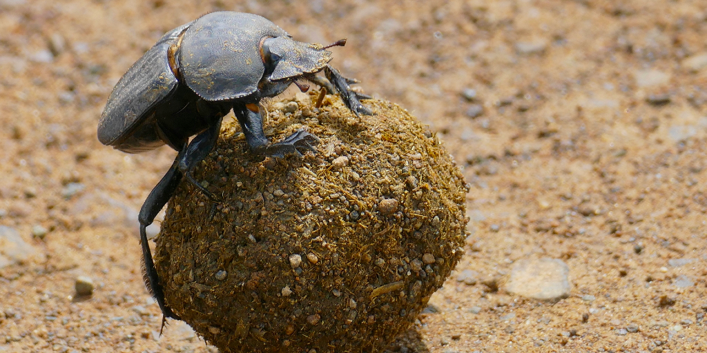 A dung beetle using elephant dung as an important source of food.