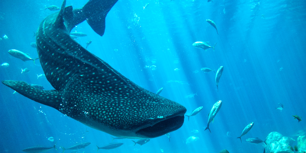 The conservation of whale sharks is important.