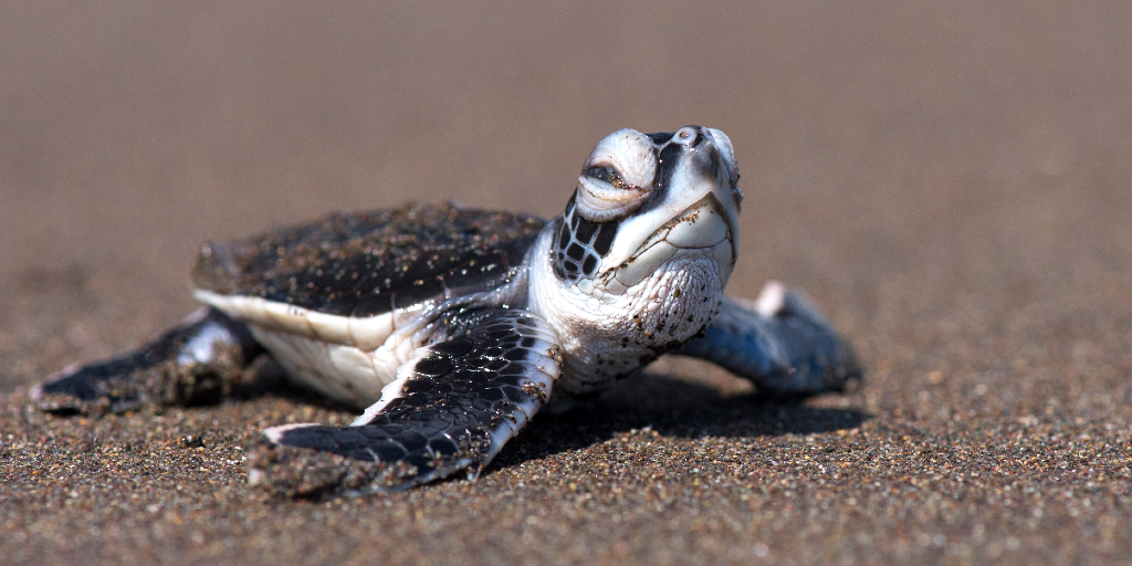 A baby green sea turtle.