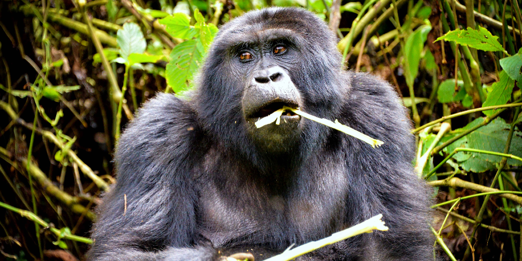Mountain gorillas are an endangered species who are in need of protection